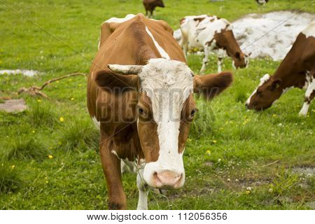 Cow With One Horn