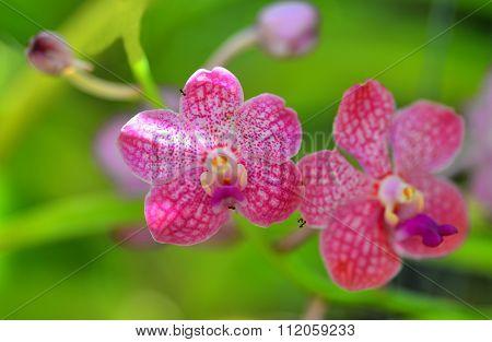 Pink White Vanda Orchid Flower