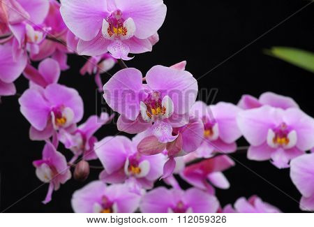 Phalaenopsis Pink White Orchid Flower