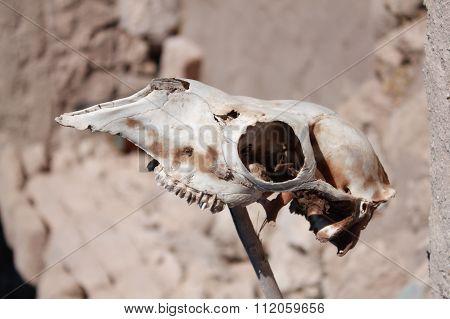 Llama Skull in the Desert