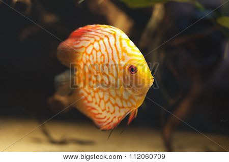 Aquarium Fishes. Discus.