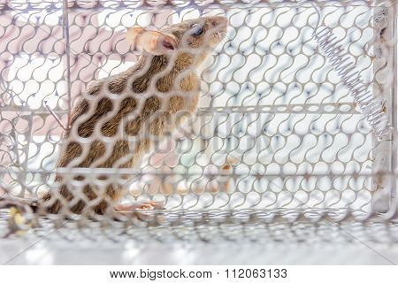 Close Up Of Anxious Rat Trapped And Caught In Metal Cage