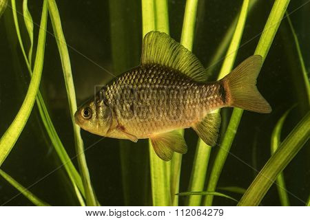 Crucian Carp Fish  In The Pond