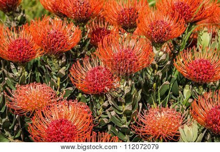 Leucospermum - Pincushion Protea Flowers