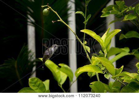 Green humming bird hovering near a lemon tree.