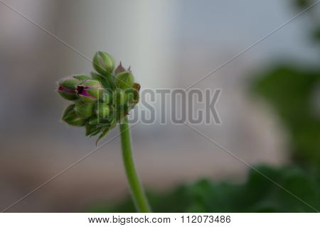 A branch of a geranium buds about to bloom.