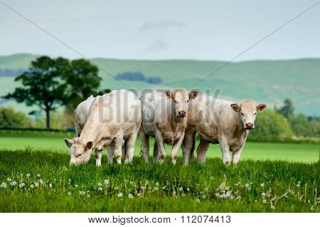 A Group Of Charolais Cattle Grazing
