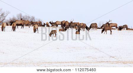 Montana Elk
