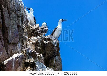 peruvian gannets on rocks of Ballestas Islands