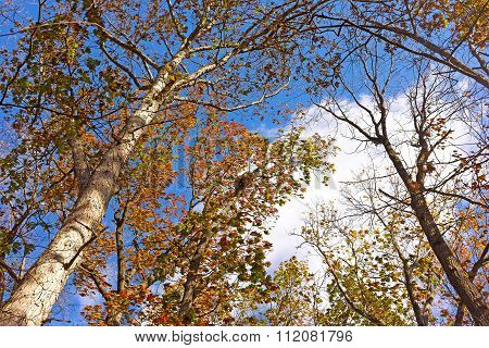 Windy morning among tall deciduous trees in late fall.