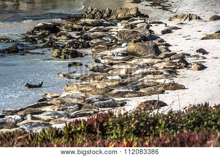 The sea lions on the beach of Monterey, California