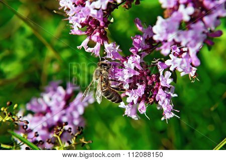 Bee on the flowers of oregano