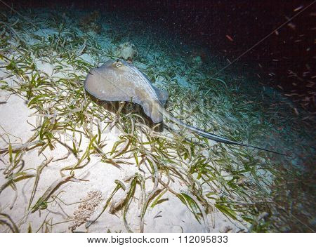 Sting Ray At Night Dive, Cayo Largo, Cuba