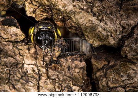 Digger wasp Ectemnius continuus emerging from tunnel in log