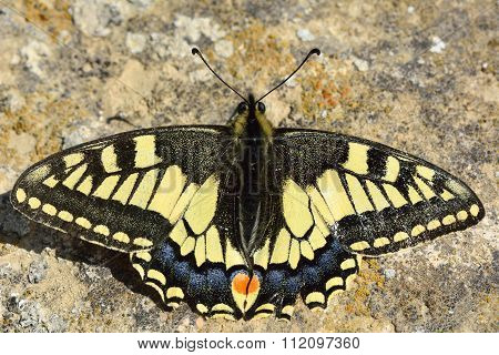 Swallowtail butterfly (Papilio machaon) at rest on the ground