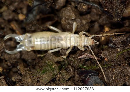 Common earwig (Forficula auricularia) white after moult