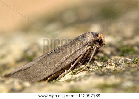 Lesser wax moth (Achroia grisella)