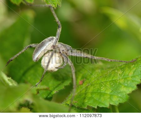 Nursery web spider (Pisaura mirabilis) with egg sac