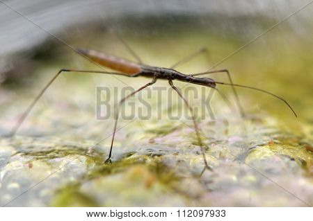 Water measurer (Hydrometra stagnorum)