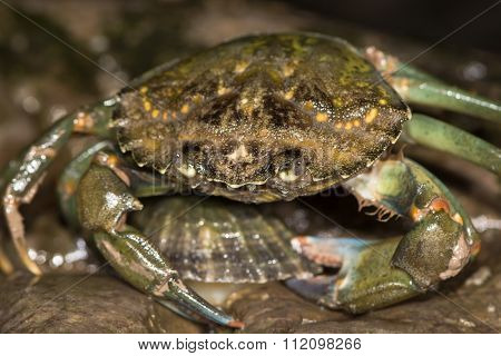 Green shore crab attacking limpet