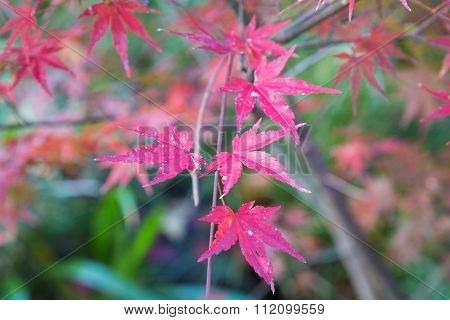 Close up red maple in autumn season