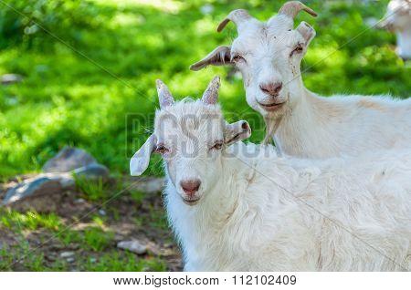 Goat Kid Graze Mountain