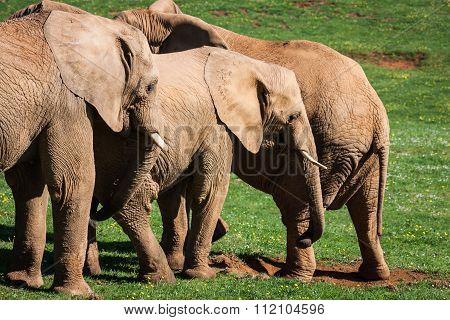 Elephants Family On African Savanna. Safari In Amboseli, Kenya, Africa