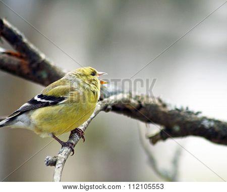 Tiny Yellow Finch singing her heart out while perched on a branch