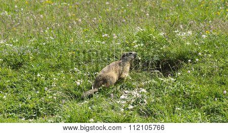 Groundhog In The Italian Alps