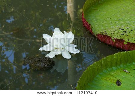 White Lotus Water Lily In The Pond