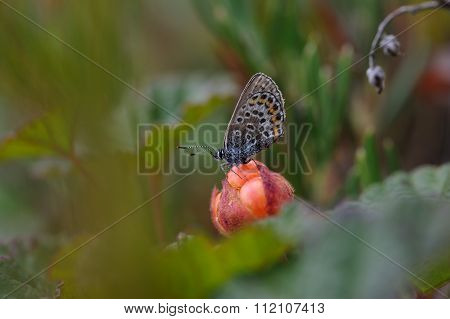 Butterfly Sitting On Cloudberry
