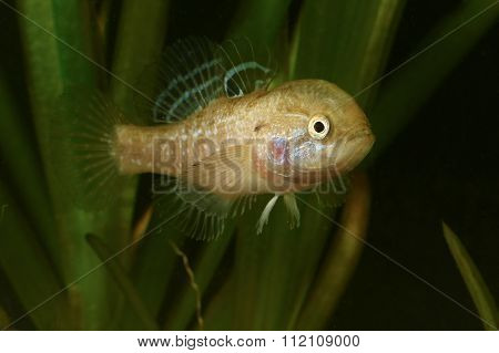 Male Of Chinese Sleeper Fish,  Invasive Species