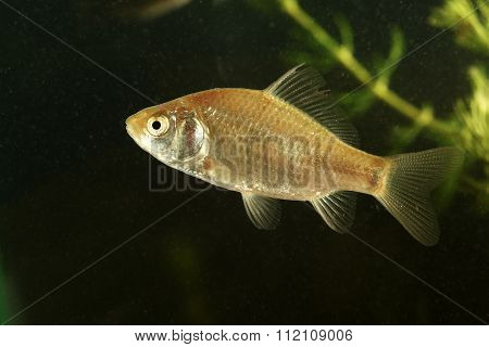 Immature Crucian Carp Fish  In The Pond