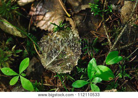 Skeleton Of Aspen Leaf.
