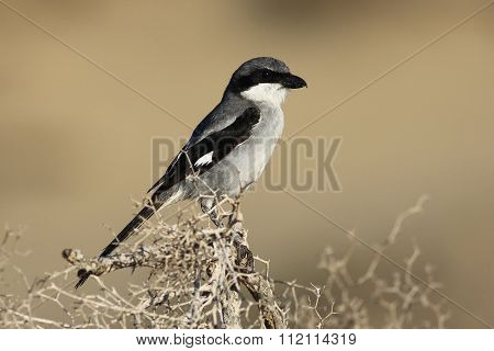 Northern Grey Shrike, Watching For Pray