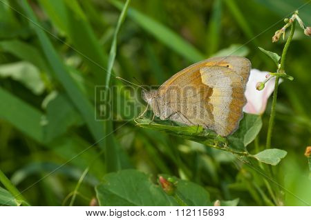 Meadow brown butterfly resting in shadows of summer herbs