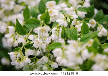 Philadelphus coronarius flowers close up with water drops in summer