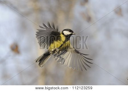 Flying Great Tit With Open Wings