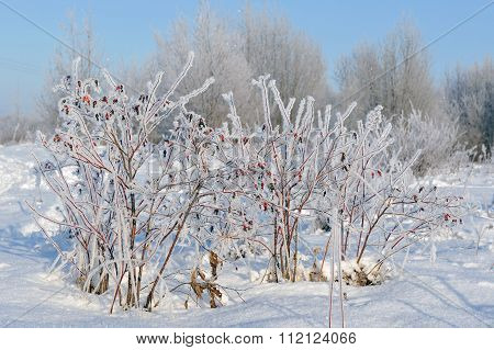 Dogrose In Winter
