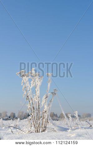 Tansy In Winter