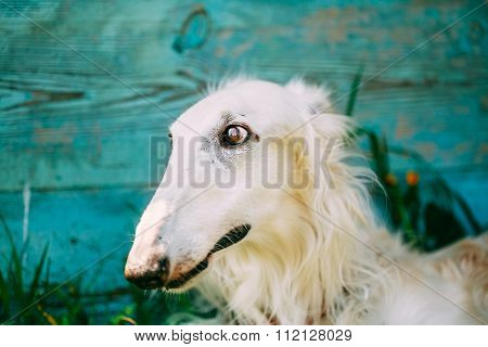 Russian Borzoi. Sighthound, Russkaya Psovaya Borzaya, Psovoi Clo