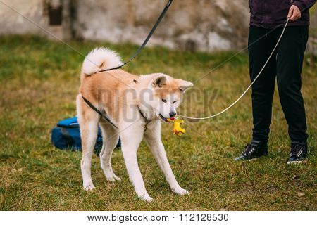 Akita Dog or Akita Inu, Japanese Akita play with toy Outdoor