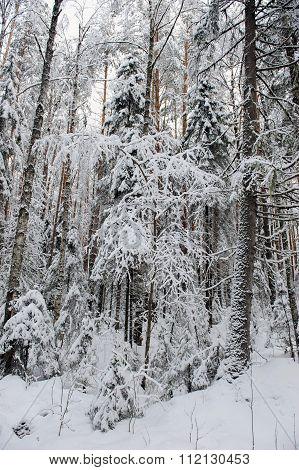 Taiga In Early Winter