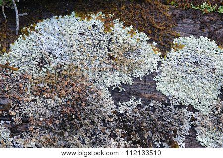 Moss And Lichen.
