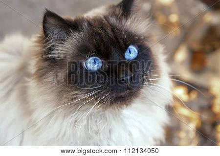 Portrait Of A Beautiful Fluffy Cat