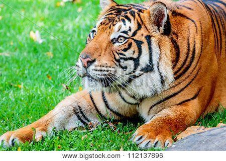 Pre-pounce Tiger