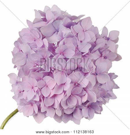 Purple Flower Hydrangea (clipping Path)