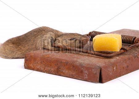 Mousetrap With Dead Mouse