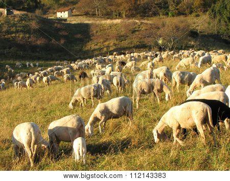 Flock With Numerous Sheep Grazing In A Meadow