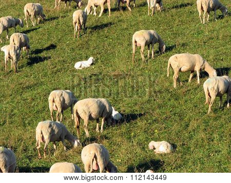 Herd With Numerous Sheep Grazing In A Meadow